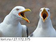 Купить «RF- Lesser black-backed gulls (Larus fuscus) calling from shoreline, beaks open, England, UK, May.», фото № 27172375, снято 18 ноября 2017 г. (c) Nature Picture Library / Фотобанк Лори