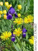 Купить «Желтый дороникум (лат. Doronicum) и фиолетовые бородатые ирисы (лат. Iris barbatus) цветут в саду», эксклюзивное фото № 27174667, снято 10 июня 2017 г. (c) Елена Коромыслова / Фотобанк Лори