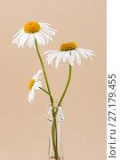 Купить «Three chamomile flowers in a glass transparent vase close-up on a light beige pastel background.», фото № 27179455, снято 23 апреля 2019 г. (c) Olesya Tseytlin / Фотобанк Лори