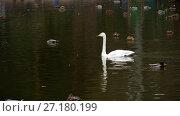 Купить «Wild waterfowl on the pond», видеоролик № 27180199, снято 21 октября 2017 г. (c) Игорь Жоров / Фотобанк Лори