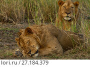 Купить «Lions (Panthera leo) two males, one asleep, Gorongosa National Park, Mozambique», фото № 27184379, снято 19 января 2018 г. (c) Nature Picture Library / Фотобанк Лори
