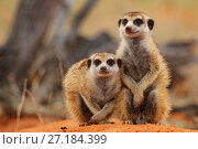 Купить «Meerkats (Suricata surricata) siblings sit at their burrow entrance in the Kalahari Desert, South Africa.», фото № 27184399, снято 5 августа 2020 г. (c) Nature Picture Library / Фотобанк Лори