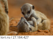 Купить «Meerkat (Suricata suricatta) two pups playing while their family member watches over them in the Kalahari Desert, South Africa.», фото № 27184427, снято 4 августа 2020 г. (c) Nature Picture Library / Фотобанк Лори