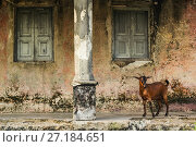 Купить «Goat standing on the porch of a colonial Portuguese-era building has been damaged by civil war and neglect on Ibo Island, Quirimbas Archipelago, northern Mozambique.», фото № 27184651, снято 24 апреля 2018 г. (c) Nature Picture Library / Фотобанк Лори