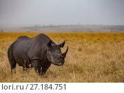 Купить «Black rhino (Diceros bicornis) grazes on the savanna in the Maasai Mara Reserve, Kenya.», фото № 27184751, снято 18 августа 2018 г. (c) Nature Picture Library / Фотобанк Лори
