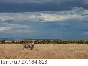 A male common eland (Taurotragus oryx) stands on the savanna in the... Стоковое фото, фотограф Jen Guyton / Nature Picture Library / Фотобанк Лори