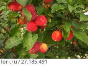 Купить «Яблоки сорта Горноалтайское», фото № 27185491, снято 17 августа 2012 г. (c) Александр Романов / Фотобанк Лори