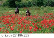 Купить «Лошади пасутся в поле цветущих маков», фото № 27186235, снято 1 июня 2017 г. (c) Яна Королёва / Фотобанк Лори