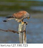 Купить «Common kestrel (Falco tinnunculus)  perched on post feeding on rodent prey, Marais Breton, Vendée, France, March.», фото № 27190723, снято 15 декабря 2017 г. (c) Nature Picture Library / Фотобанк Лори