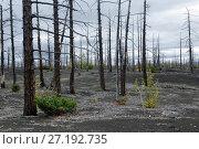 Купить «Мертвый лес на полуострове Камчатка», фото № 27192735, снято 17 сентября 2013 г. (c) А. А. Пирагис / Фотобанк Лори