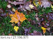 Купить «Осенние листья лежат на зеленой траве», фото № 27196971, снято 13 октября 2017 г. (c) Irina Opachevsky / Фотобанк Лори