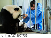 Купить «Keeper feeding Giant panda (Ailuropoda melanoleuca) female Huan Huan, whilst removing baby, age one month, for check ups. Beauval Zoo, France.  September 2017.», фото № 27197735, снято 19 апреля 2019 г. (c) Nature Picture Library / Фотобанк Лори