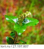 Ортилия однобокая (лат. Orthilia secunda). Цветущее растение крупным планом. Стоковое фото, фотограф Евгений Мухортов / Фотобанк Лори