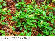 Купить «Ортилия однобокая (лат. Orthilia secunda). Цветущее растение в естественной среде произростания», фото № 27197843, снято 2 июля 2017 г. (c) Евгений Мухортов / Фотобанк Лори
