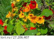 Купить «Настурция (лат. Tropaeolum) цветет в саду», фото № 27206407, снято 5 августа 2017 г. (c) Елена Коромыслова / Фотобанк Лори