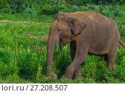 Купить «Elephants, Udawalawe National Park, Sri Lanka. Udawalawe is an important habitat for water birds and Sri Lankan elephants.», фото № 27208507, снято 23 марта 2017 г. (c) age Fotostock / Фотобанк Лори