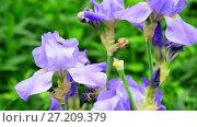 Купить «beautiful light blue irises on flower bed», видеоролик № 27209379, снято 17 сентября 2017 г. (c) Володина Ольга / Фотобанк Лори