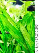 Купить «Aquarium plants and fish - Vallisneria gigantea and Haplohromis cornflower», фото № 27210203, снято 18 апреля 2016 г. (c) Евгений Ткачёв / Фотобанк Лори