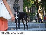 Black German mastiff walks in the park. Стоковое фото, фотограф Галина Голубь / Фотобанк Лори