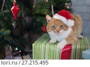 Купить «Red cat in the room with Christmas fir», фото № 27215495, снято 18 ноября 2017 г. (c) Типляшина Евгения / Фотобанк Лори