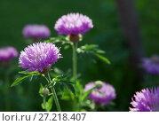 Купить «Purple flowers in a meadow», фото № 27218407, снято 10 мая 2014 г. (c) Надежда Болотина / Фотобанк Лори