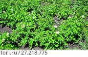 Купить «field of flowering potatoes is swaying in wind», видеоролик № 27218775, снято 6 июля 2017 г. (c) Володина Ольга / Фотобанк Лори