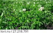 Купить «field of flowering potatoes is swaying in wind», видеоролик № 27218791, снято 30 июня 2017 г. (c) Володина Ольга / Фотобанк Лори