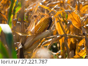 Купить «Ripened corn cob», фото № 27221787, снято 14 сентября 2017 г. (c) Яков Филимонов / Фотобанк Лори