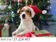 Купить «Dog breed Jack Russell under the Christmas tree», фото № 27224407, снято 18 ноября 2017 г. (c) Типляшина Евгения / Фотобанк Лори