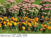 Купить «Бархатцы (лат. Tagetes) и Очиток видный (лат. Sedum spectabile) цветут на клумбе в саду», фото № 27225191, снято 31 августа 2017 г. (c) Елена Коромыслова / Фотобанк Лори