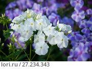 Купить «Белые цветы флокса в летнем саду», фото № 27234343, снято 6 сентября 2016 г. (c) Татьяна Белова / Фотобанк Лори