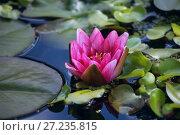 Купить «Розовая водяная лилия или нимфея в пруду», фото № 27235815, снято 6 сентября 2016 г. (c) Татьяна Белова / Фотобанк Лори