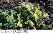 Купить «Yellowed leaves of cucumbers from drought», видеоролик № 27236983, снято 11 августа 2017 г. (c) Володина Ольга / Фотобанк Лори