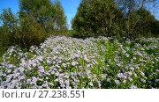 Купить «Lot of blue flowers with butterflies near the edge of forest», видеоролик № 27238551, снято 10 августа 2017 г. (c) Володина Ольга / Фотобанк Лори