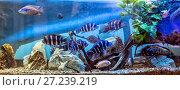 Купить «Panoramic aquarium with Malawi cichlids», фото № 27239219, снято 18 апреля 2016 г. (c) Евгений Ткачёв / Фотобанк Лори