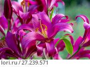 Купить «Лилия Карбонеро (Carbonero) ОТ-гибрид в саду», фото № 27239571, снято 5 августа 2017 г. (c) Ольга Сейфутдинова / Фотобанк Лори