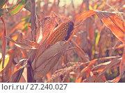 Купить «Ripened corn cob», фото № 27240027, снято 14 сентября 2017 г. (c) Яков Филимонов / Фотобанк Лори