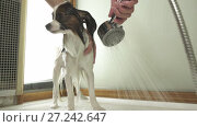 Купить «Bathing dog Continental Toy Spaniel Papillon stock footage video», видеоролик № 27242647, снято 22 ноября 2017 г. (c) Юлия Машкова / Фотобанк Лори