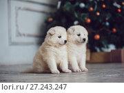 Купить «Cute samoed puppies near a Christmas tree. New Year.», фото № 27243247, снято 20 ноября 2017 г. (c) Женя Канашкин / Фотобанк Лори