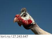 Купить «Helmeted Guinea Fowl (Numida Meleagris) portrait», фото № 27243647, снято 26 апреля 2017 г. (c) Goruppa / Фотобанк Лори