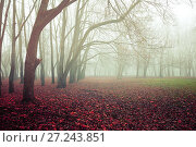 Купить «Autumn foggy forest landscape with old bare autumn trees and fallen red autumn leaves on the ground», фото № 27243851, снято 8 ноября 2017 г. (c) Зезелина Марина / Фотобанк Лори