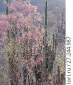 Nesco (Willardia mexicana) flowering and Hecho cactus (Pachycereus pectin-aboriginum)  Sierra Alamos, Sonora, Mexico. Стоковое фото, фотограф Jack Dykinga / Nature Picture Library / Фотобанк Лори
