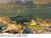 Купить «Arctic grayling  (Thymallus arcticus) male gaping which is a sign of aggression, North Park, Colorado, USA.», фото № 27245067, снято 15 августа 2018 г. (c) Nature Picture Library / Фотобанк Лори