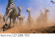 Купить «Common or plains zebra (Equus quagga burchelli) herd on the move  Taken with a remote camera controlled by the photographer. Maasai Mara National Reserve, Kenya. July.», фото № 27245151, снято 4 августа 2020 г. (c) Nature Picture Library / Фотобанк Лори