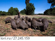 Banded mongoose  (Mungos mungo) group foraging. Taken with a remote camera controlled by the photographer. Maasai Mara National Reserve, Kenya. August. Стоковое фото, фотограф Anup Shah / Nature Picture Library / Фотобанк Лори