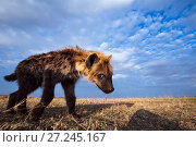 Купить «Spotted hyena (Crocuta crocuta) juvenile approaching remote camera with curiosity, taken with a remote camera controlled by the photographer. Maasai Mara National Reserve, Kenya. August.», фото № 27245167, снято 10 июля 2020 г. (c) Nature Picture Library / Фотобанк Лори