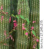 Купить «Organ Pipe cactus (Stenocereus thurberi) with Queen's Wreath (Antigonon leptopus) flowers, Rio Mayo drainage, Sonora, Mexico.», фото № 27245215, снято 16 августа 2018 г. (c) Nature Picture Library / Фотобанк Лори