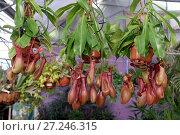 Купить «Хищное экзотическое растение непентес», фото № 27246315, снято 17 ноября 2017 г. (c) Irina Opachevsky / Фотобанк Лори