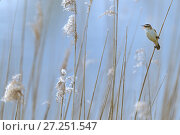 Купить «Sedge warbler (Acrocephalus schoenobaenus) adult singing in reedbed. Baie de Somme. France. April», фото № 27251547, снято 12 декабря 2017 г. (c) Nature Picture Library / Фотобанк Лори