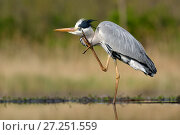 Купить «Grey Heron (Ardea cinerea)  preening in lake, Pusztaszer, Hungary, April», фото № 27251559, снято 18 декабря 2017 г. (c) Nature Picture Library / Фотобанк Лори